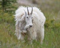 Mountain Goat Shedding Its Winter Coat - Jasper National Park Stock Photo