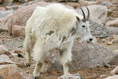 Mountain Goat shedding wool Stock Image