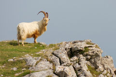 Mountain Goat / Sheep on Cliff Edge Royalty Free Stock Photo