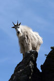 Mountain Goat shining in the sun on Custer State Park's Harney Peak in the Black Hills of South Dakota Stock Photos