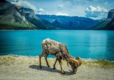 MOUNTAIN GOAT ON A SHORE OF BEAUTIFUL LAKE. Mountain goat is standing on a shore of a beautiful lake in Rocky Mountains in Alberta in Canada Royalty Free Stock Photos