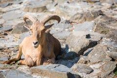 Mountain goat sitting on the stones Stock Image