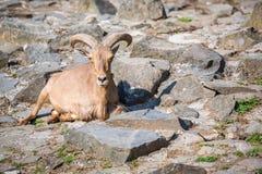 Mountain goat sitting on the stones Royalty Free Stock Image