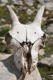 Mountain goat skull. Caucasian mountain goat skull 1 Royalty Free Stock Photos