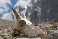 Mountain goat skull Stock Photography