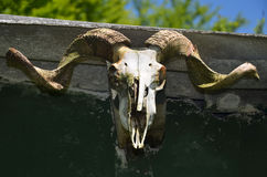 Mountain goat skull close-up Stock Photography