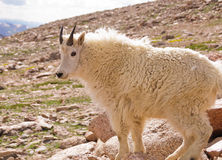 Mountain goat. A mountain goat on the slopes of Mt. Evans, located in the Arapaho National Forest in the Rocky Mountains of Colorado Royalty Free Stock Photography