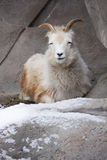 Mountain Goat in Snow Stock Images