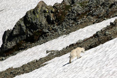 Mountain Goat in a Snow Field Royalty Free Stock Image