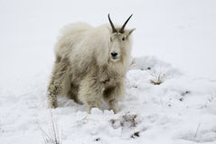 Mountain goat on snow hill with dirty face and body from eating Royalty Free Stock Image