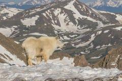 Mountain Goat in Snow Royalty Free Stock Photo
