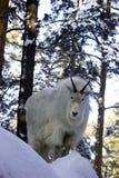 Mountain goat on the snowy rock. White mountain goat on the snowy rock in the forest looking on you Stock Image