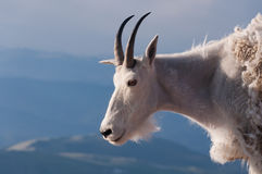 Mountain goat stand proudly, high in the rocky mountains Stock Photo