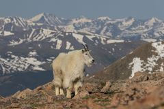 Mountain Goat Standing in the Alpine Stock Photography
