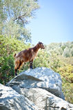 Mountain goat standing on a rock on an island in the Aegean Sea Stock Images