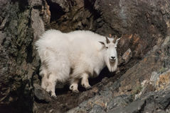 Mountain Goat. A mountain goat standing on a rocky cliff Royalty Free Stock Images