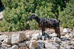 Mountain goat standing in the sun on a rock Royalty Free Stock Photo