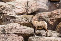 Mountain Goat Standing Watch stock images