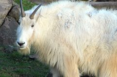 Mountain goat standing. Royalty Free Stock Images