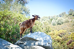 Mountain goat stands in the sunlight on a rock on an island in the Aegean Sea Stock Images