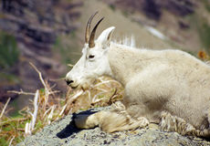 Mountain goat in the summer heat Stock Photos