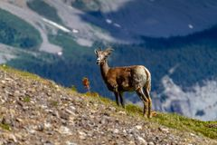 Mountain Goat Grazing on Parker Ridge in Canadian Rockies. A mountain goat on the summit of Parker Ridge in Jasper National Park in the Canadian Rockies with Big royalty free stock photo