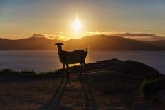 Mountain goat at sunrise Royalty Free Stock Photos