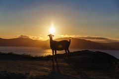 Mountain goat at sunrise Stock Images