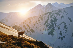 Mountain goat at the sunset in the Tatra mountain. Royalty Free Stock Photos