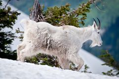 Mountain goat threads his way through the snow Royalty Free Stock Photos