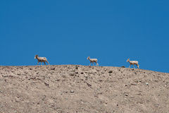 Mountain goat. Three mountain goats in a row on a clear blue sky Stock Images