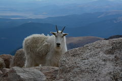 Wild Mountain Goat on top of Mount Evans in Colorado. Mountain goat on top of Mount Evans in Denver Colorado. Fourteen thousand feet up, highest paved road in stock images