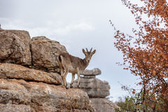 A mountain goat in Torcal de Antequera, Spain. A mountain goat is standing on rocks in El Torcal de Antequera and is staring at the viewer. Autumn leaves are Royalty Free Stock Image
