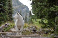 Mountain Goat on Trail. To Sperry Chalet at Glacier National Park Royalty Free Stock Image