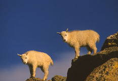 Mountain Goat Twin Kids Stock Photo
