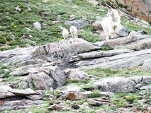 Mountain Goat and Twin Lambs Royalty Free Stock Photos
