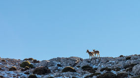 Mountain goat. Two ibex in a natural setting, on top of the rocks of the Maroma mountain Stock Photo