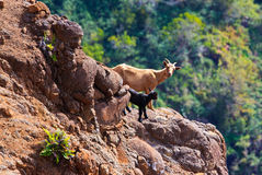 Mountain Goat @ Waimea Canyon, West Kauai, Hawaii Stock Image