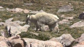 Mountain Goat Walk. A mountain goat walking across the alpine stock video footage