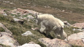 Mountain goat walking. A mountain goat walking in the high country stock footage