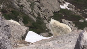 Mountain goat walking. A mountain goat  in the high country stock video