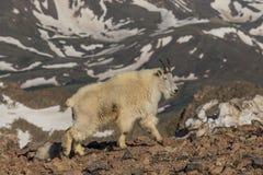 Mountain Goat Walking Stock Photo