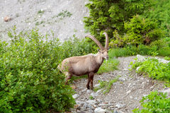 The mountain goat is walking on rocky trail Royalty Free Stock Photo