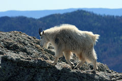 Mountain Goat walking on top of Harney Peak overlooking the Black Hills of South Dakota USA stock images