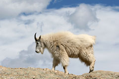 Mountain Goat walking on top of Harney Peak overlooking the Black Hills of South Dakota USA. Mountain Goat walking on top of Harney Peak in Custer State Park in Stock Photography