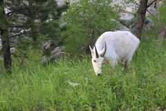 Mountain Goat. This white, male mountain goat feeds on grasses in the late afternoon. This particular shot was taken at Mt. Rushmore royalty free stock photos