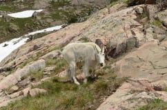 Mountain Goat Stock Photography