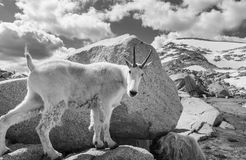 Mountain goat Stock Photography
