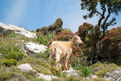 Mountain-goat. Wild mountain goat lives on the island of Rhodes Royalty Free Stock Photo