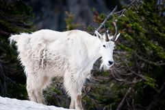 Mountain goat in the wild Royalty Free Stock Images